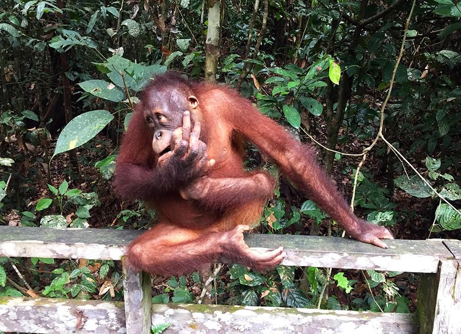 orangutanes-sepilok