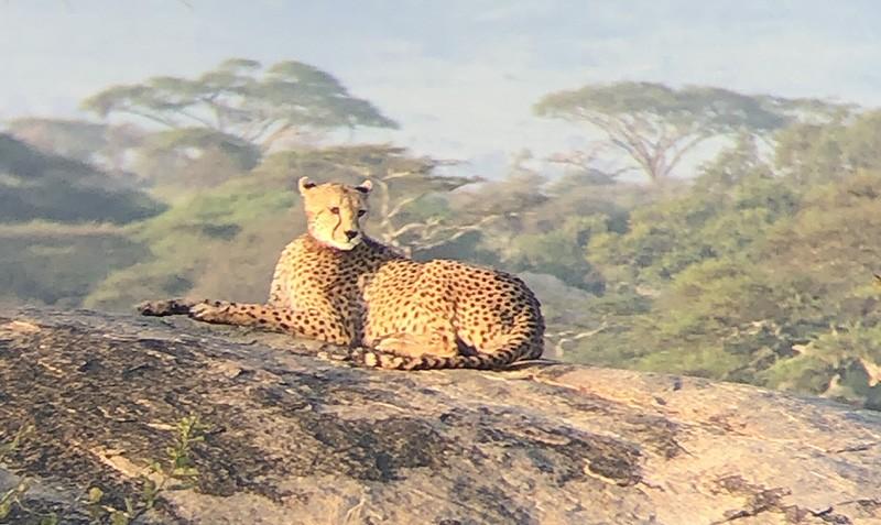 serengueti guepardo